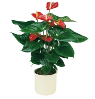 Product Anthurium