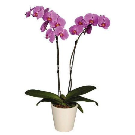 Product Iilac orchid