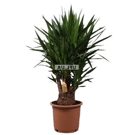 Product Yucca