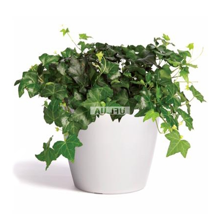 Product Hedera