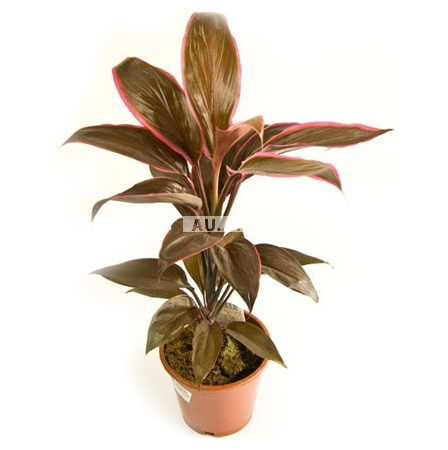 Product Cordyline