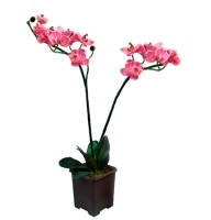Product Orchid Sacramento