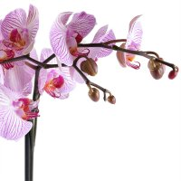 Bouquet Pink and white orchid