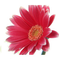 Bouquet Gerbera