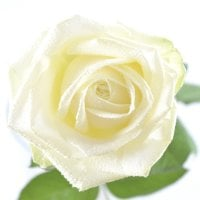 Bouquet White roses by the piece