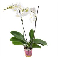 Product White Orchid