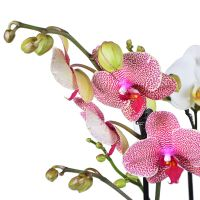 Buy composition «Basket of orchids» with delivery
