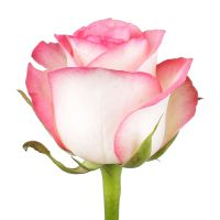 Buy bouquet «Premium white-pink roses by the piece» with delivery