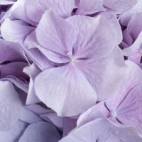 Buy pretty bouquet «Lavender tandem» with delivery to any city