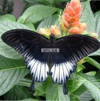 Product Butterfly Papilio lowi