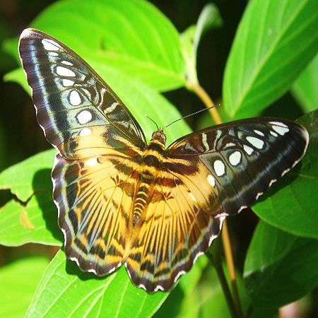 Product Butterfly - Parthenos sylvia