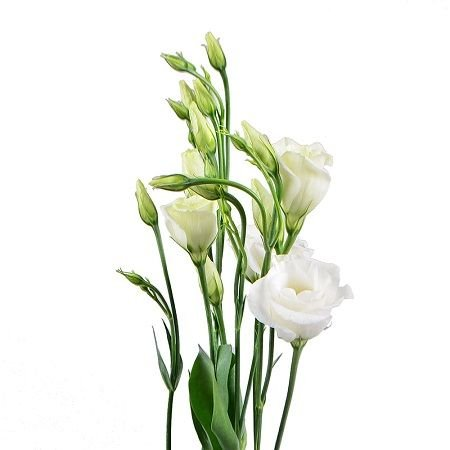 Bouquet White eustoma by the piece