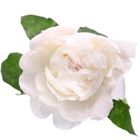 Product White peonies by piece