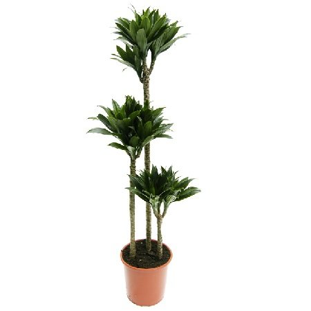Product Dracaena Compacta (above 1m)