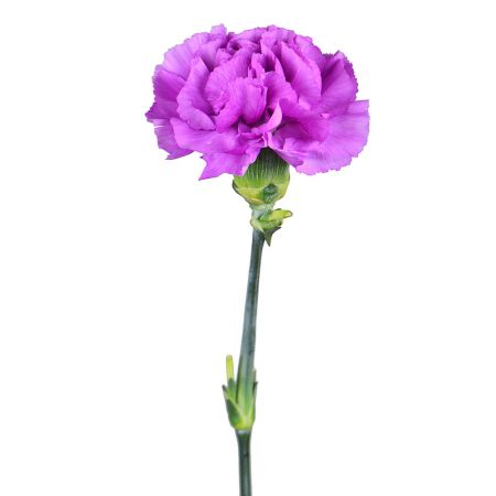 Order purple carnation by the piece at on-line flower shop