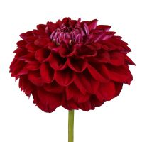 Bouquet Burgundy dahlia by piece