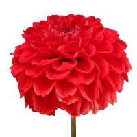 Bouquet Red dahlia by piece