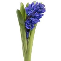 Order the bouquet «Hyacinth blue piece» in our online shop. Delivery!