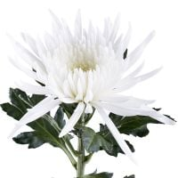 Bouquet Chrysanthemum white piece