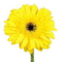 Bouquet Yellow gerberas by the piece