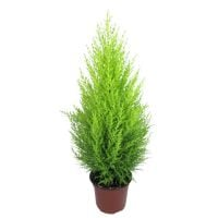 Product Cupressus