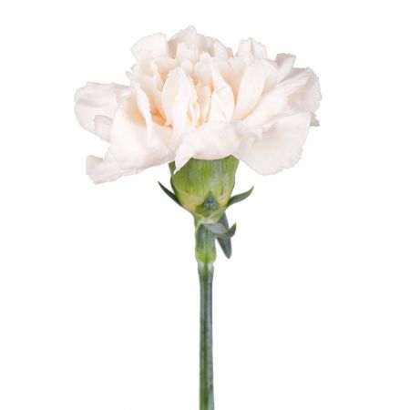 Order cream carnation at on-line flower shop