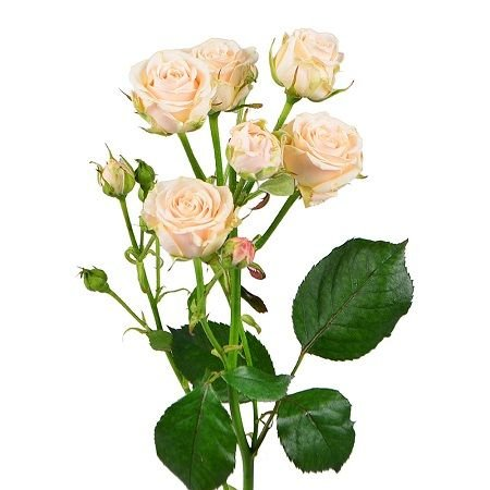 Order delicate Cream shrub roses by piece with delivery to any destination