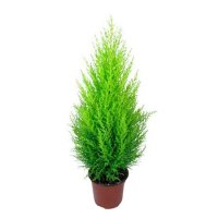 Product Kupressus / Cypress (above 1m)