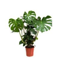 Product Monstera