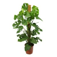 Product Monstera (above 1m)