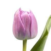 Product Pion-shaped tulip by the piece