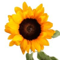 Product Sunflower by piece