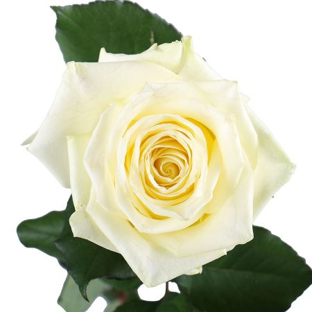 Buy beautiful bouquet «Premium white roses by the piece» with delivery