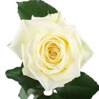 Buy beautiful bouquet �Premium white roses by the piece� with delivery
