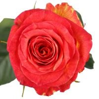 Buy bouquet «Red and yellow premium roses by the piece» with delivery