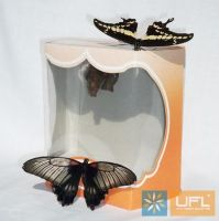 Product The birth of a butterfly from its chrysalis - a little miracle!