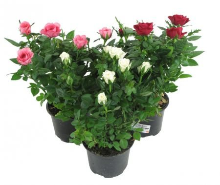 Product Potted Rose