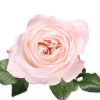 Product Rose David Austin Keira by piece