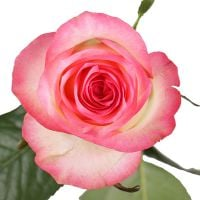 Buy bouquet �Premium white-pink roses by the piece� with delivery
