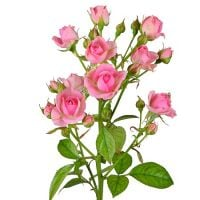 Order tender bouquet of Pink spay roses by the piece with delivery