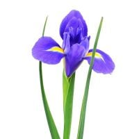 Bouquet Blue irises by the piece