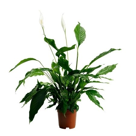 Product Spathiphyllum (above 1m)