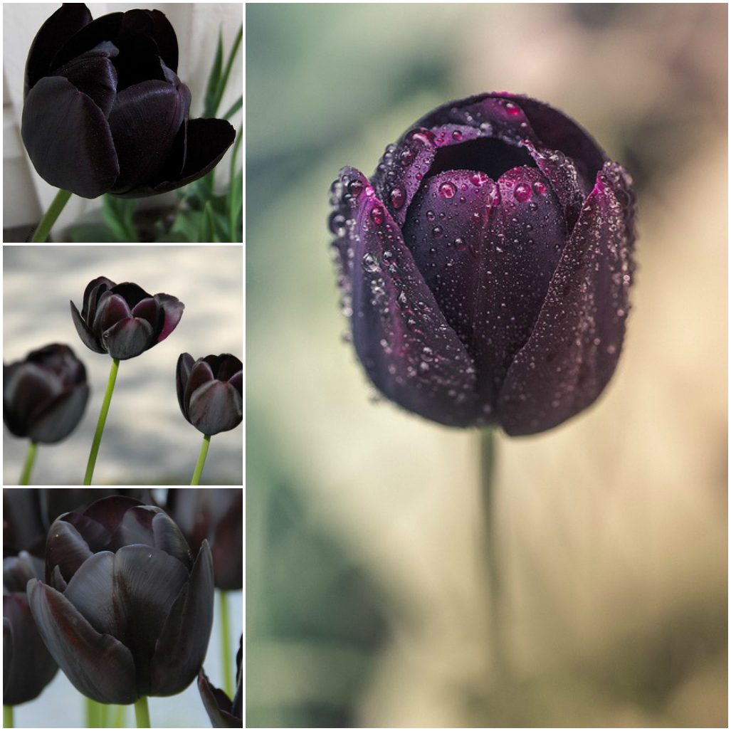 Amazing but non existent flowers for Do black roses really exist