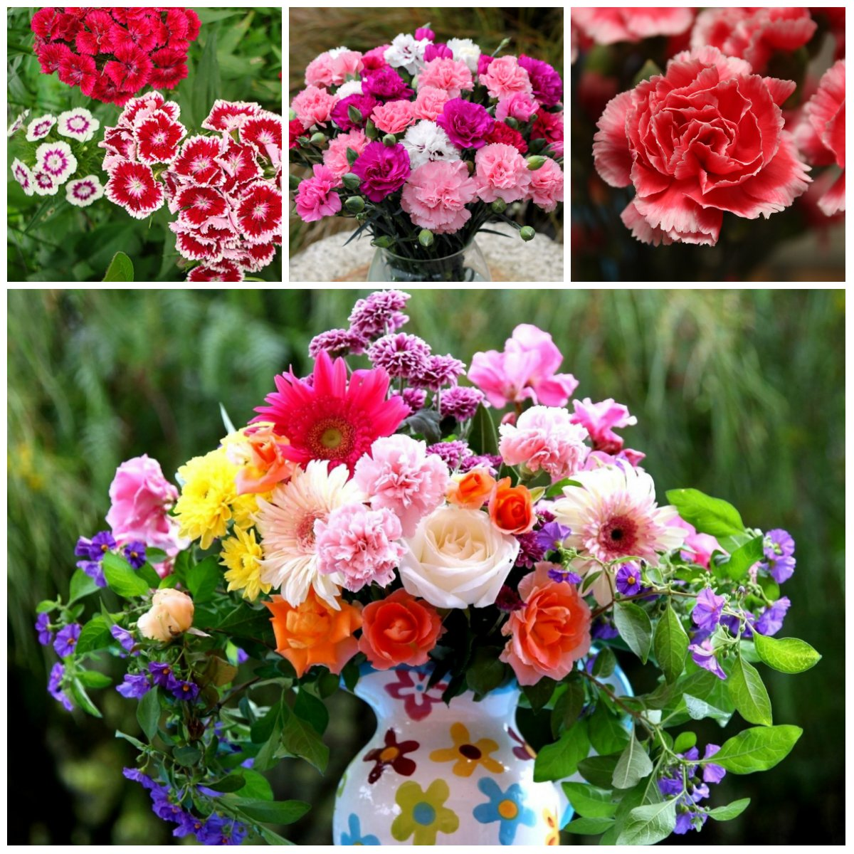 Carnations A history and meaning of the flower