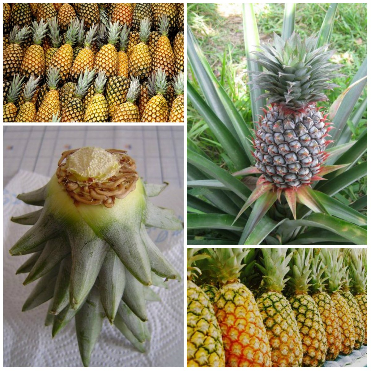 Growing a pineapple at home for How to plant a pineapple top in a pot